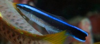 close up juvenile cleaner_banner