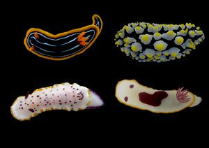 Nudibranch molluscs display vibrant colour patterns