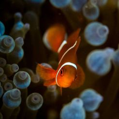 A clownfish at Lizard Island (GBR)