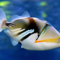 Reef_trigger_fish._(11111536093)