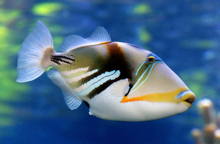 Triggerfish are an ideal species for performing behavioural experiments